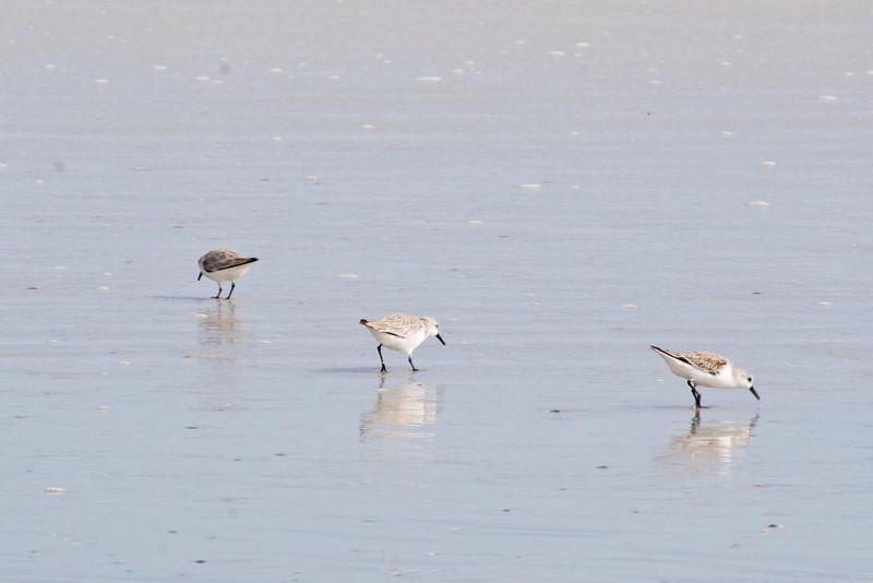 January 25, 2012<br /> <br /> Sanderling  # 40<br /> <br /> St Augustine Beach, Florida