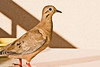 December 28, 2012<br /> <br /> Eared-Dove  #96<br /> <br /> Aruba