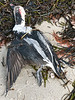 dead Long-tailed Duck