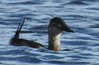 Ruddy Duck at Buttonwood