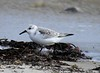 Sanderling at Gooseberry