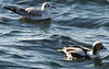 Bonaparte's Gull and Long-tailed Duck