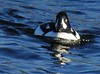 Male Barrow's Goldeneye