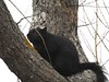 Black Squirrel at Fort Phoenix