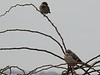 House Sparrow and Mockingbird at Fort Phoenix