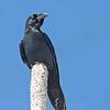 Stornäbbad kråka (Corvus macrorhynchos), Large-billed crow