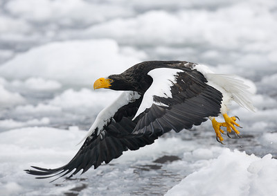 Japanese Cranes, Steller's Sea Eagles and More