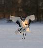 Cranes mating
