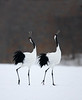 Cranes calling as part of the mating ritual