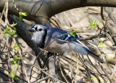 Blue Jay in the Spring