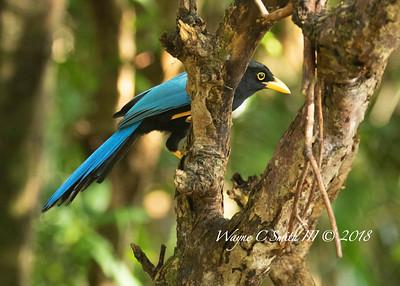 Adult Yucatan Jay in Rain Forest Singing