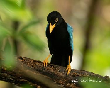 Immature Yucatan Jay in Rain Forest