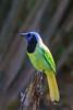 Green Jay (b1121)