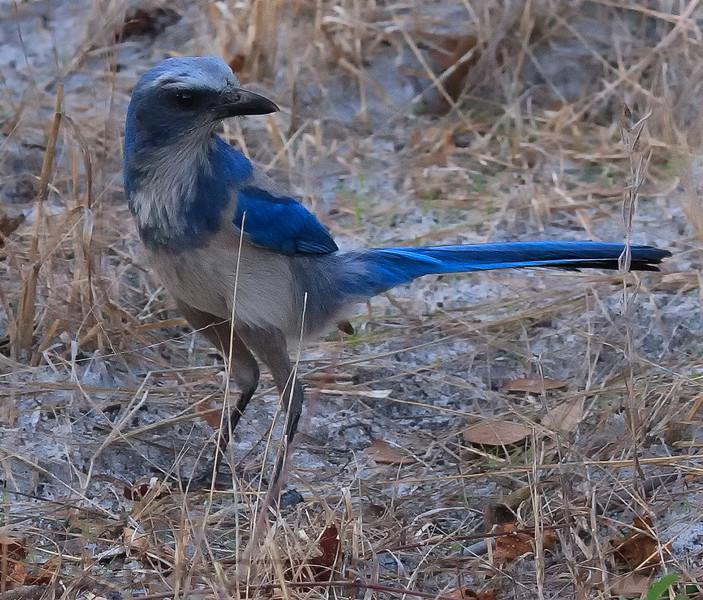 Florida Scrub Jay (b1113)