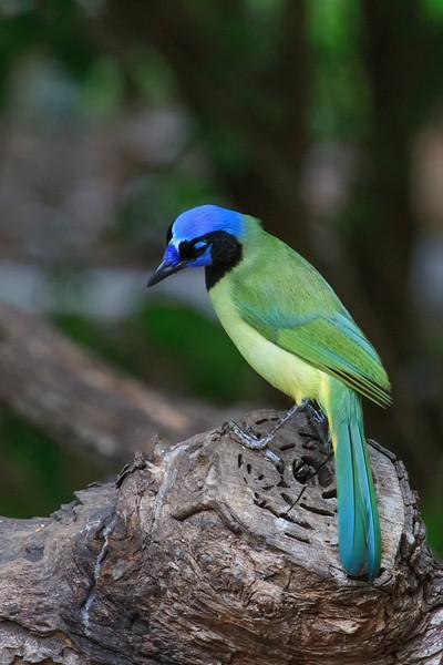 Green Jay (b1122)