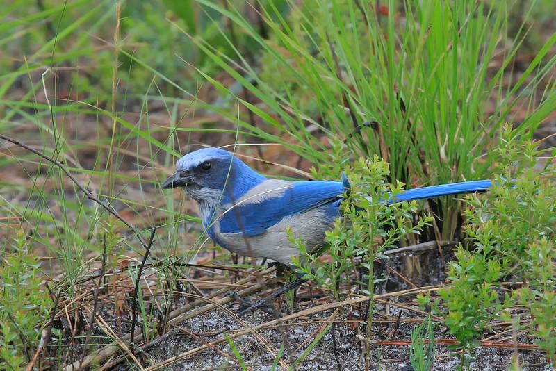 Florida Scrub Jay (b1111)