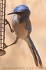 Western Scrub Jay (b1141)