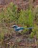 Florida Scrub Jay (b1112)