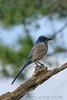 Florida Scrub Jay (b1114)