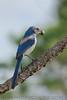 Florida Scrub Jay (b1115)