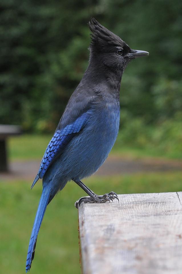 Steller's Jay, Banff