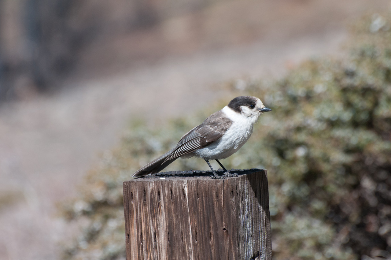 Gray Jay, Whiskey-Jack