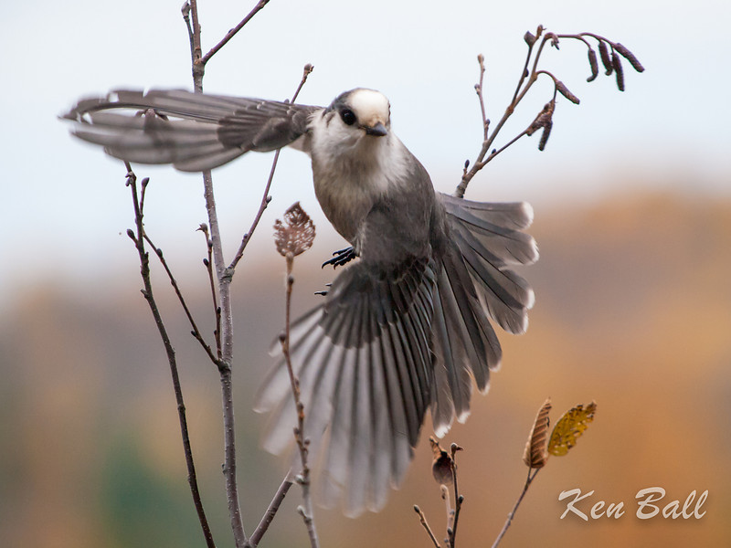 Algonquin Provincial Park, gray jay: Perisoreus canadensis