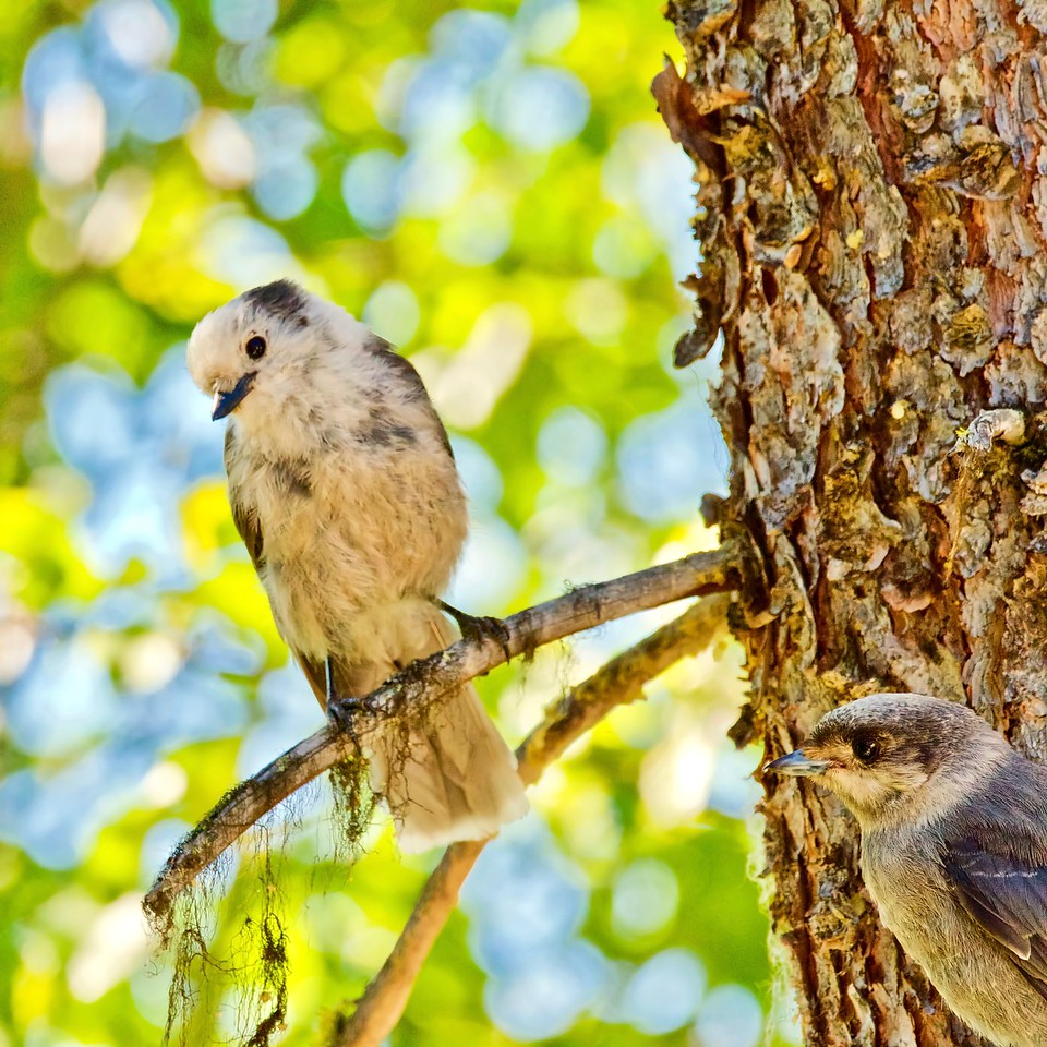 Gray Jay with juvenile