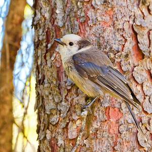 Gray Jay- Rocky Mountain variation
