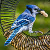 Blue Jay Crack
