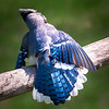 Blue Jay Itch