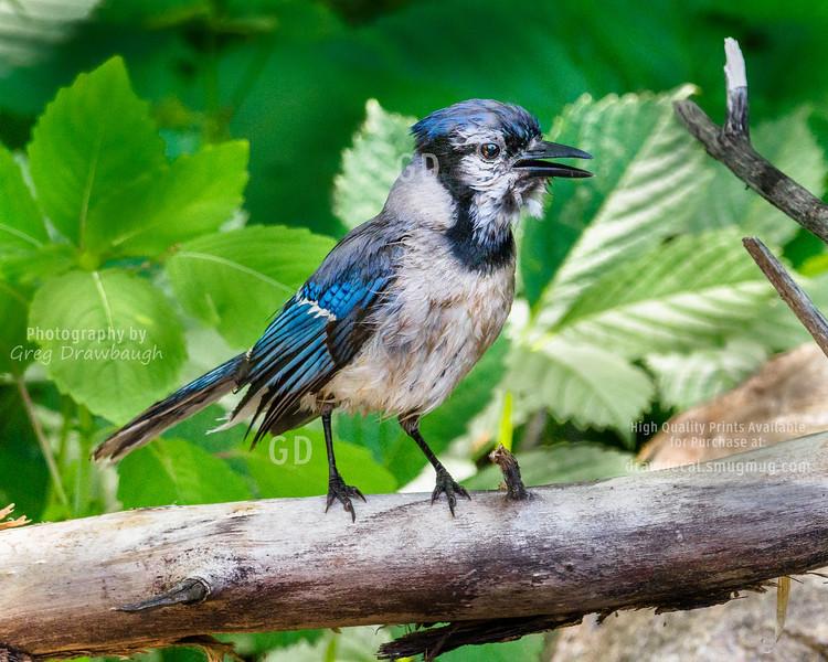 Wet Blue Jay
