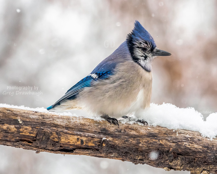 Snow Jay