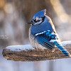 Below Zero Blue Jay