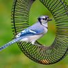 Soggy Blue Jay