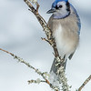 Blue Jay, Algonquin Provincial Park, ON
