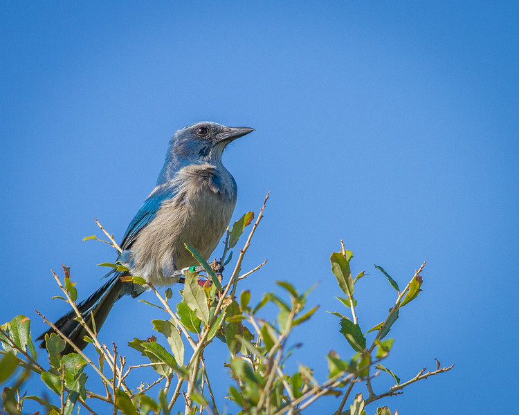 Florida Scrub-Jay, Canavarel National Seashore Pay Station, Florida
