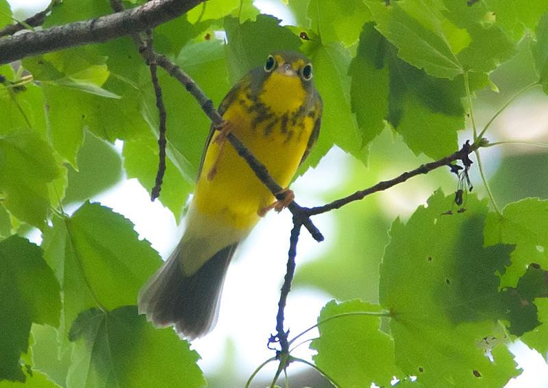 Canada Warbler