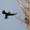Double-Crested Cormorant coming in for a landing.
