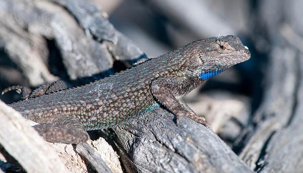 Southern Sagebrush Lizard