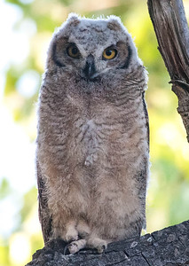 Baby Great-horned Owl