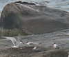 July 22  West Island terns