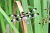 July 21 - Long Road - Twelve Spotted Skimmer