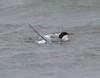 July 21 - Hacker Street Common Tern bathing