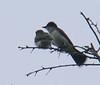 July 22 - Mattapoisett Dump road Kingbirds