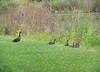 July 21 - Long Road Duck Family