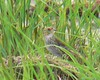 July 21 - Hacker Street Sharp-tailed Sparrow