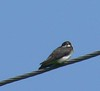 Swallow at Shaw Road