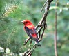 Scarlet Tanager on a very dead tree.  Woods were dark that morning so pics were crummy
