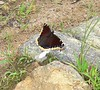 Mourning Cloak butterfly right near a poor small dead black bird.